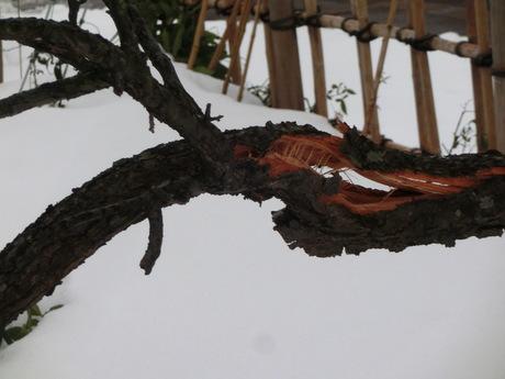 雪折れの梅など_a0203003_16125299.jpg