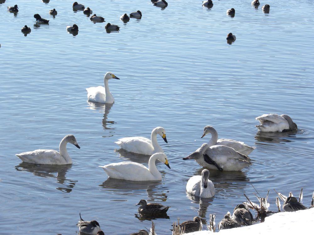 冬の風物詩・白鳥の飛来_b0329588_10152757.jpg