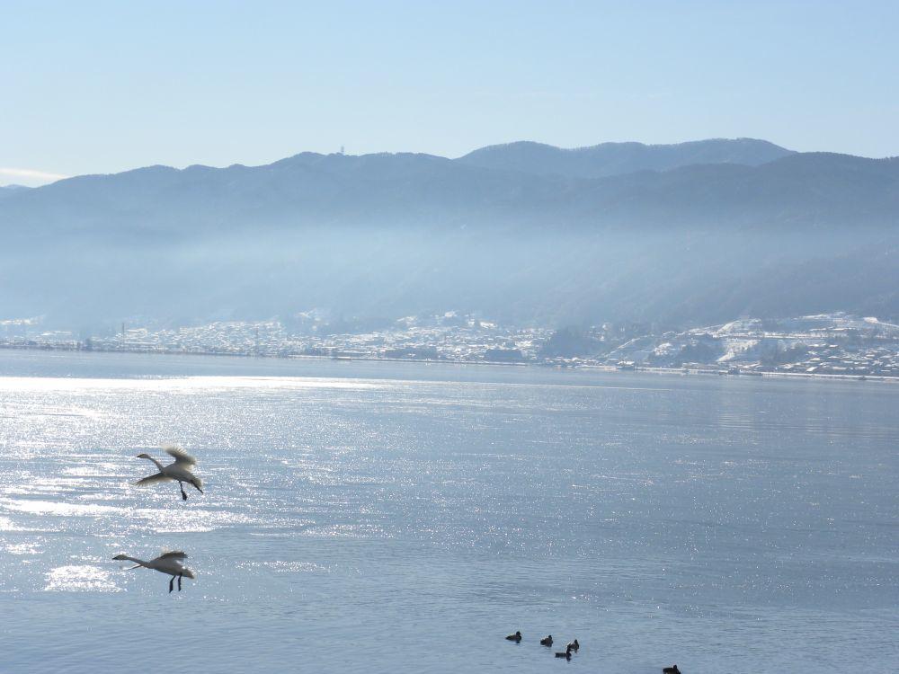 冬の風物詩・白鳥の飛来_b0329588_10153404.jpg