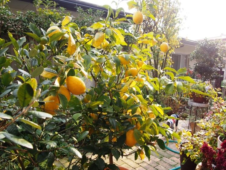 レモンを収穫して_f0249710_12314547.jpg