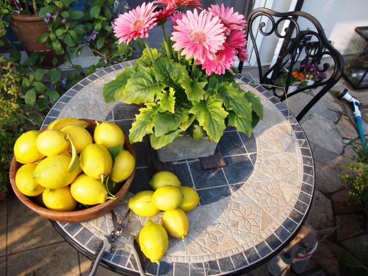 レモンを収穫して_f0249710_12321532.jpg