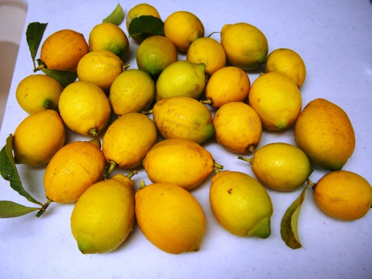 レモンを収穫して_f0249710_12323742.jpg