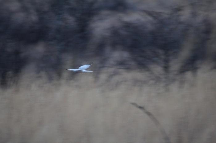 2014.12.21 まだ居ました・山中湖周辺・ハイイロチュウヒ、イカル、アトリ_c0269342_20562744.jpg