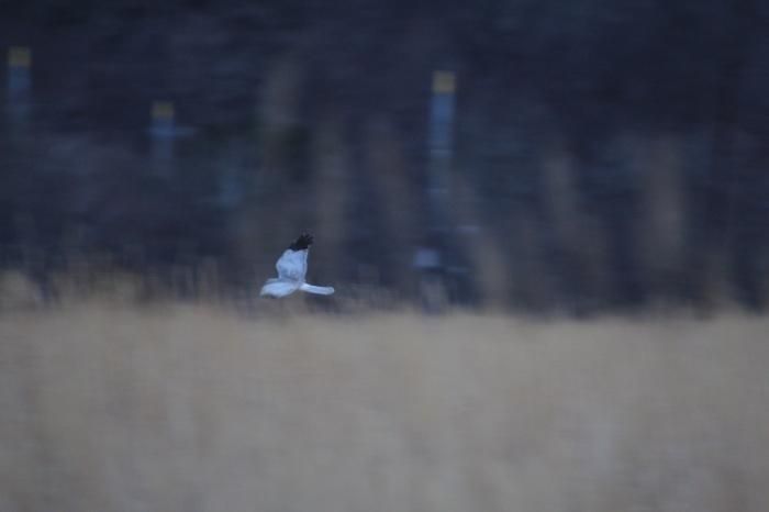 2014.12.21 まだ居ました・山中湖周辺・ハイイロチュウヒ、イカル、アトリ_c0269342_20570272.jpg