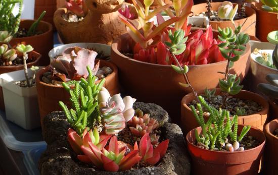 猫部屋の多肉植物。オキザリス・桃の輝きなど_a0136293_17224818.jpg