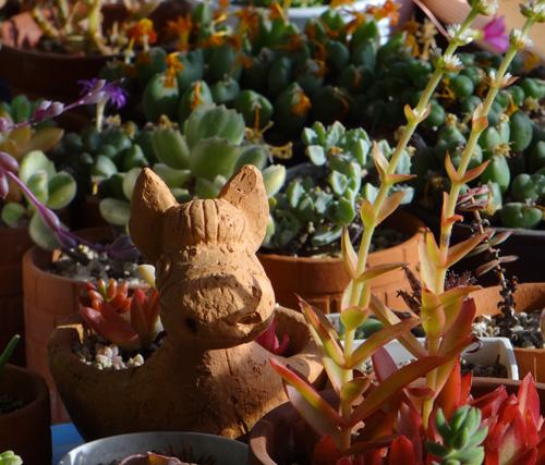 猫部屋の多肉植物。オキザリス・桃の輝きなど_a0136293_17232796.jpg