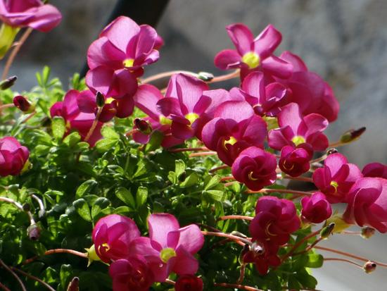 猫部屋の多肉植物。オキザリス・桃の輝きなど_a0136293_17251655.jpg