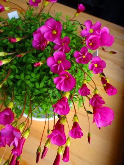 猫部屋の多肉植物。オキザリス・桃の輝きなど_a0136293_17252611.jpg