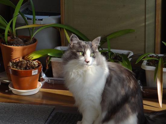 猫部屋の多肉植物。オキザリス・桃の輝きなど_a0136293_17283217.jpg