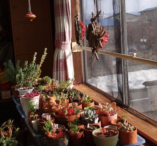 猫部屋の多肉植物。オキザリス・桃の輝きなど_a0136293_1753051.jpg