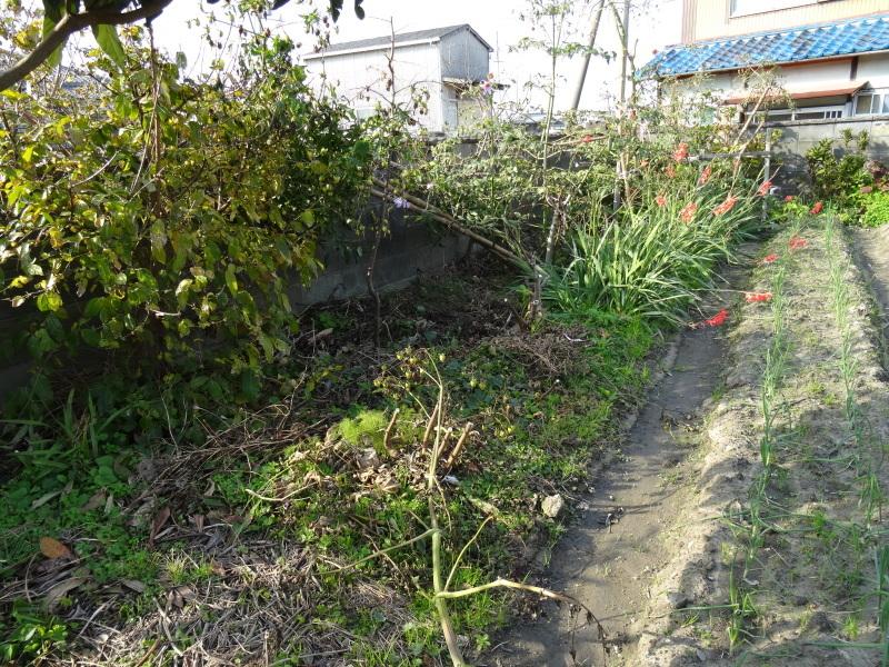 皇帝ダリアさん 長い間ありがとう     by     (TATE-misaki)_c0108460_16032148.jpg