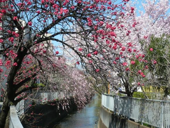 二ヶ領用水・春爛漫(桃と桜) 津脇 梅子さん 二ヶ領用水・桃並木で撮影