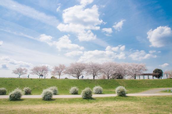 春が来た♪ 川澄 徹さん 多摩川サイクリングロード休憩所付近で撮影