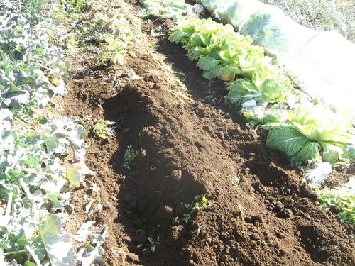 野菜の防霜対策_b0137932_14333724.jpg