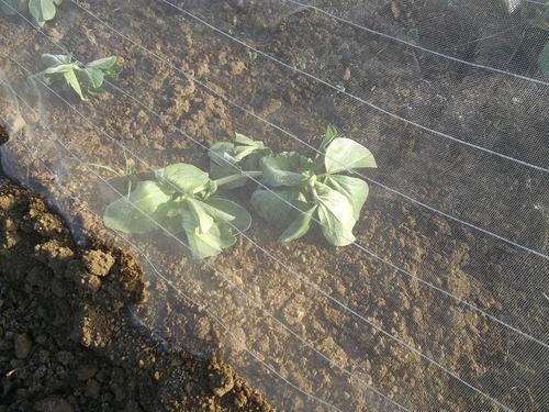 野菜の防霜対策_b0137932_14354283.jpg