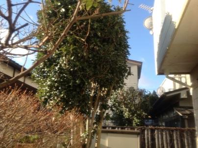 庭木剪定_c0186441_20322231.jpg