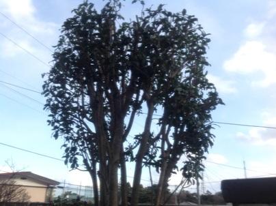 庭木剪定_c0186441_20333127.jpg
