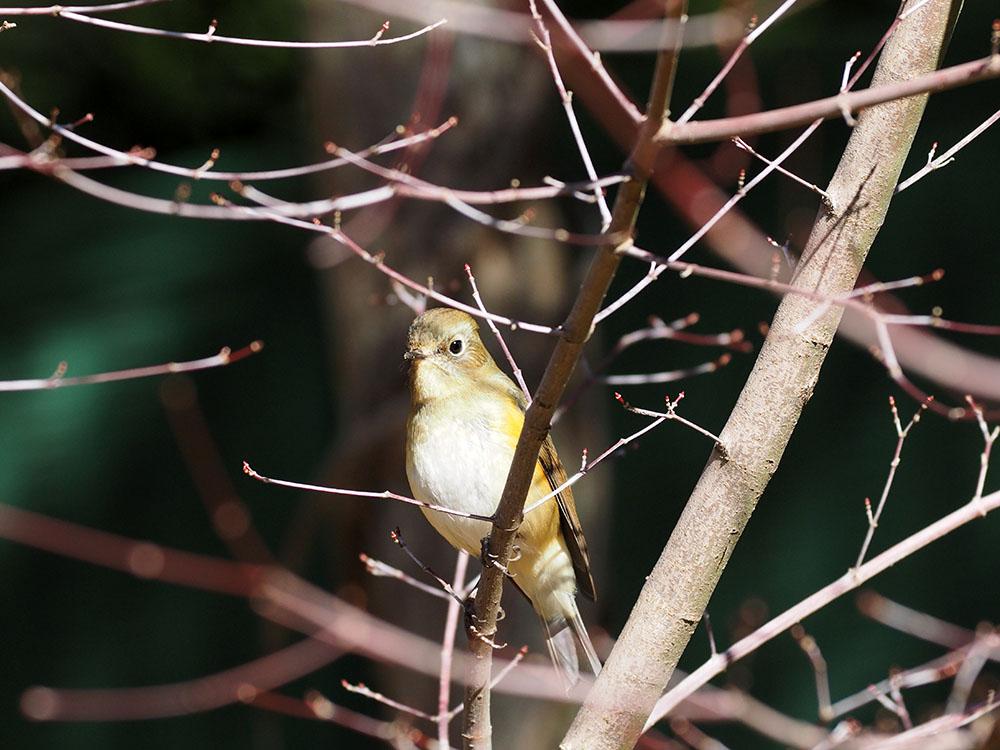 葛飾区 M公園 ~ 市川方面 冬鳥の観察_f0324026_2085058.jpg