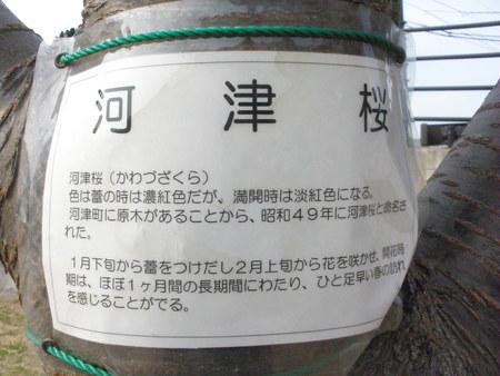 河津桜_d0173687_16131176.jpg