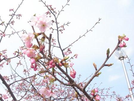 河津桜_d0173687_1613623.jpg