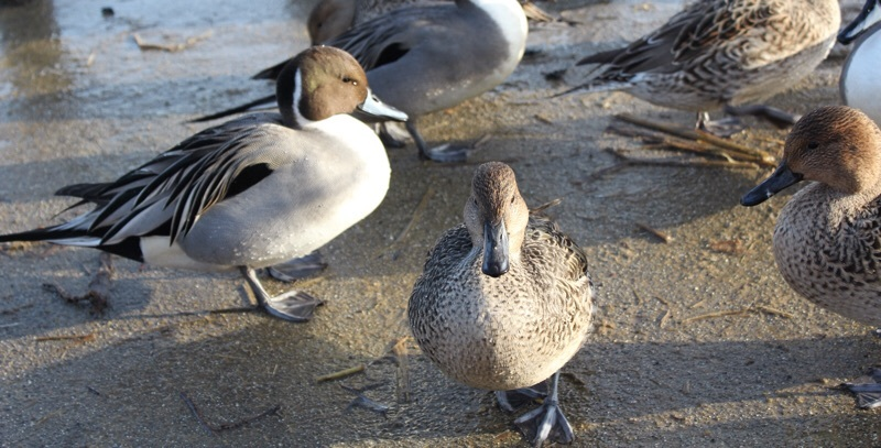 田尻池の白鳥_b0132338_19325446.jpg