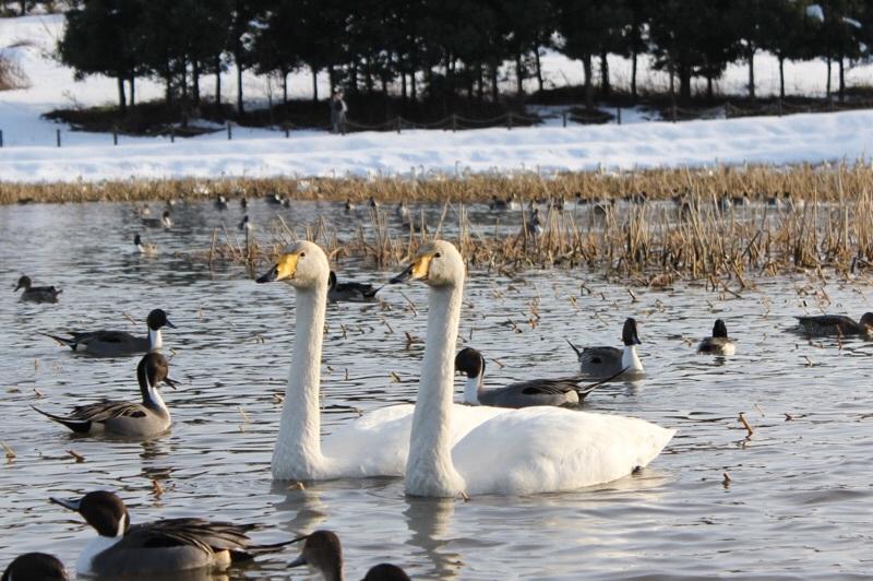 田尻池の白鳥_b0132338_19332008.jpg