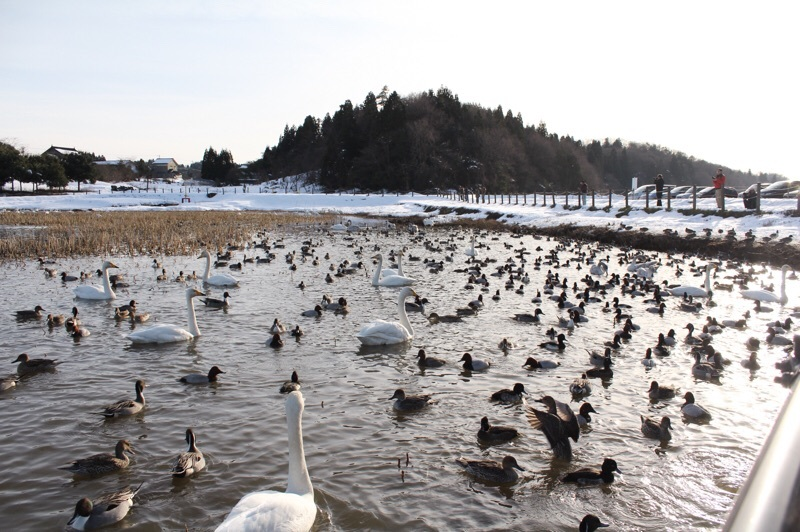 田尻池の白鳥_b0132338_19332850.jpg
