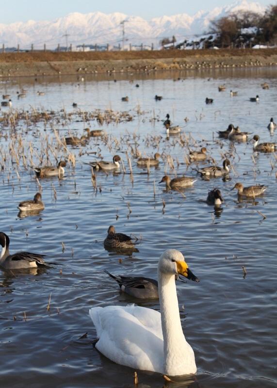 田尻池の白鳥_b0132338_19334109.jpg