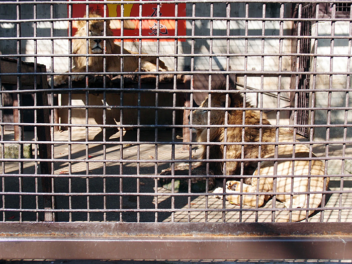 2014.10.25 宇都宮動物園☆ライオンのリオンとレオン【Lion】_f0250322_1920583.jpg
