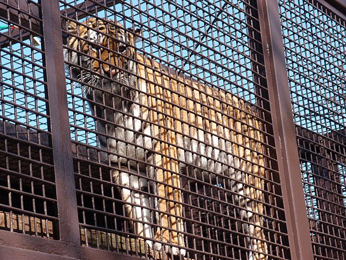 2014.10.25 宇都宮動物園☆トラのチグさん【Tiger】_f0250322_19391673.jpg