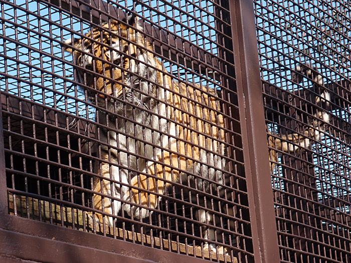 2014.10.25 宇都宮動物園☆トラのチグさん【Tiger】_f0250322_19392014.jpg