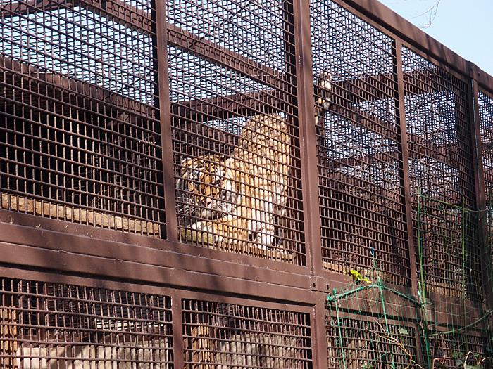 2014.10.25 宇都宮動物園☆トラのチグさん【Tiger】_f0250322_19392418.jpg