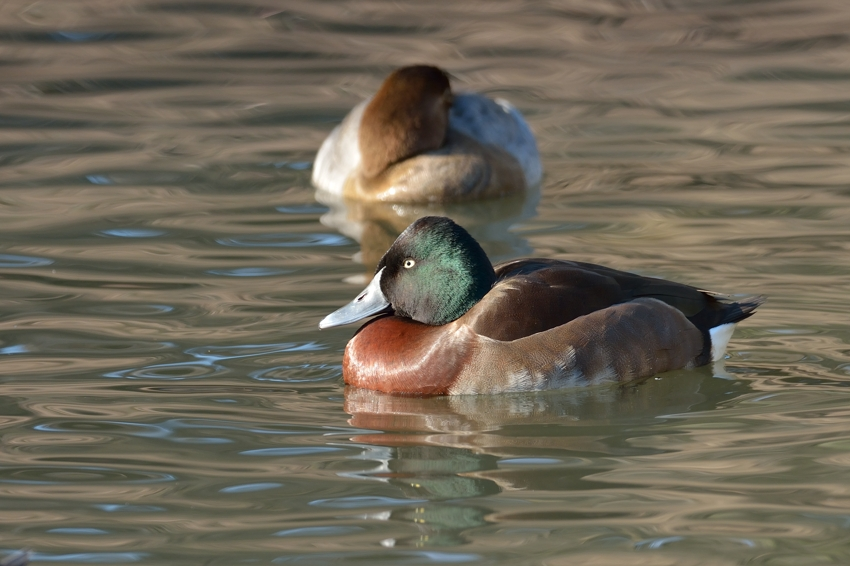 アカハジロ(Bear\'s Pochard)※Mixed blood~2014.12(E)_b0148352_22565081.jpg