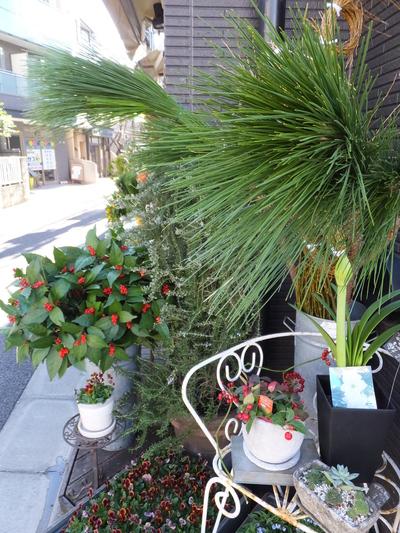オークリーフ(お正月の花)_f0049672_1134615.jpg