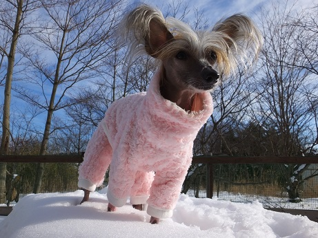 Image result for chinese crested 犬 遊ぶ 犬  遊ぶ