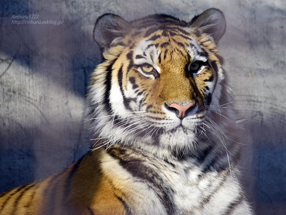 2014.12.30 宇都宮動物園☆トラのチグ【Tiger】_f0250322_22143422.jpg