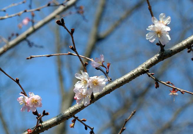 十月桜_e0089232_14593852.jpg