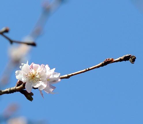 十月桜_e0089232_14594657.jpg
