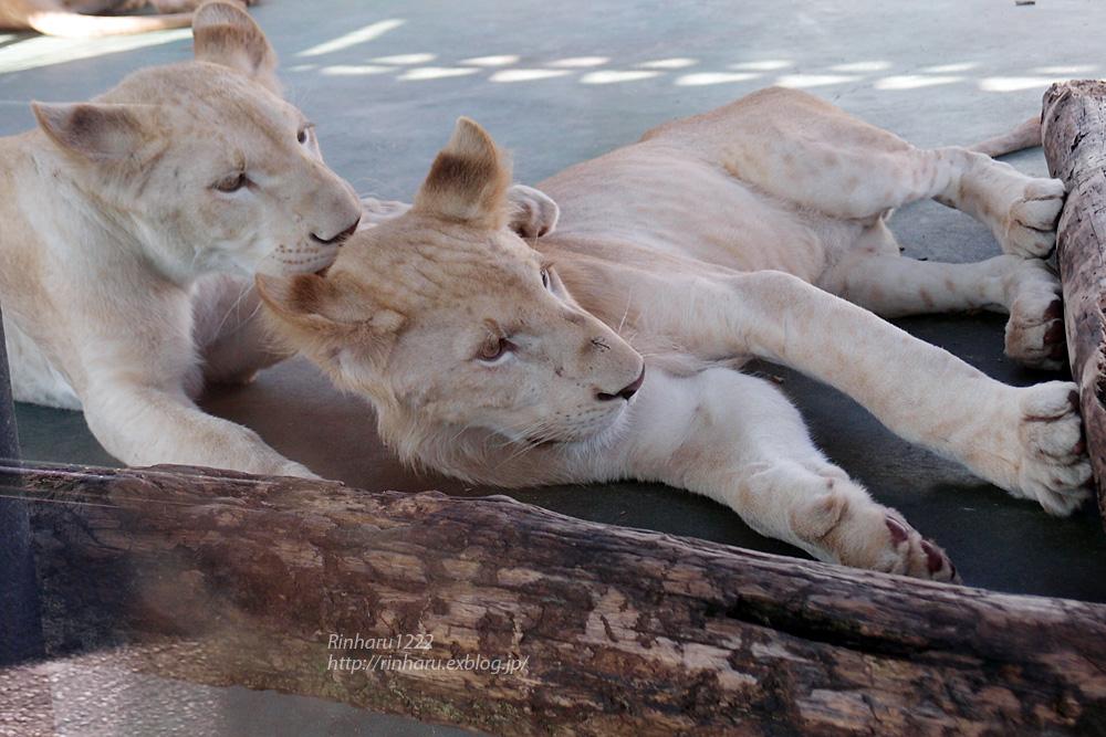 2014.9.27 姫路セントラルパーク☆ホワイトライオン7兄弟姉妹【White lion babies】_f0250322_2018394.jpg