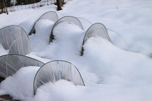 菜園は大雪_e0048413_18153850.jpg