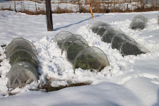 菜園は大雪_e0048413_1816288.jpg