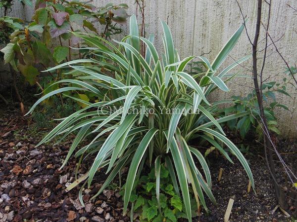 蘭ではないけど、キキョウランDianella ensifolia_a0139105_22221340.jpg
