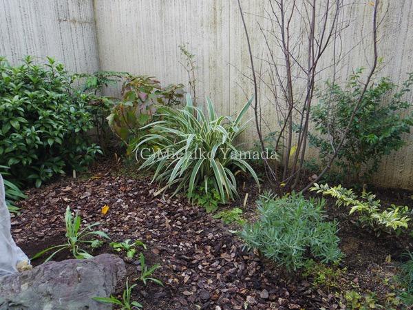 蘭ではないけど、キキョウランDianella ensifolia_a0139105_22302094.jpg