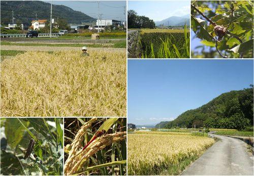 稲刈り と しめ飾り_c0307053_9365187.jpg