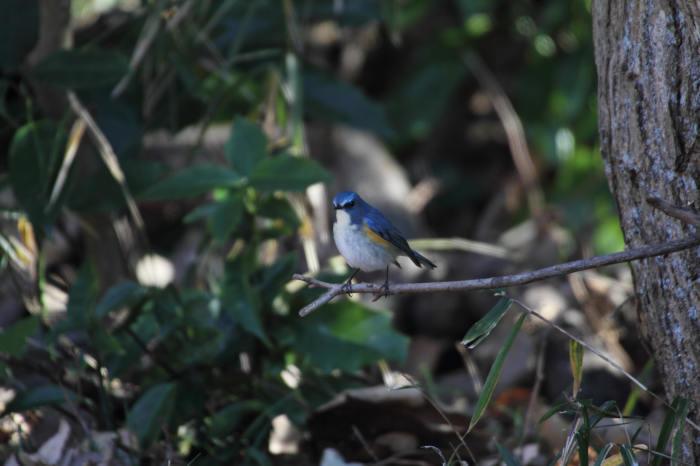 2015.1.9 本命が来てくれません・こども自然公園・ツミ、アカハラ、シロハラ、ルリビタキ、クイナ(A favorite does not come)_c0269342_20065106.jpg