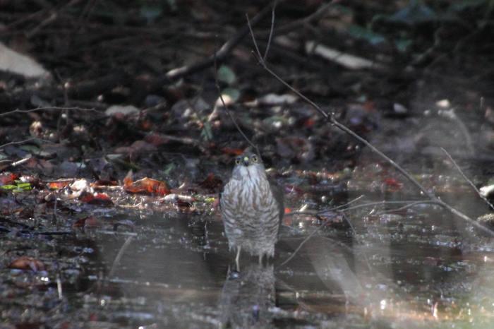 2015.1.9 本命が来てくれません・こども自然公園・ツミ、アカハラ、シロハラ、ルリビタキ、クイナ(A favorite does not come)_c0269342_20145568.jpg