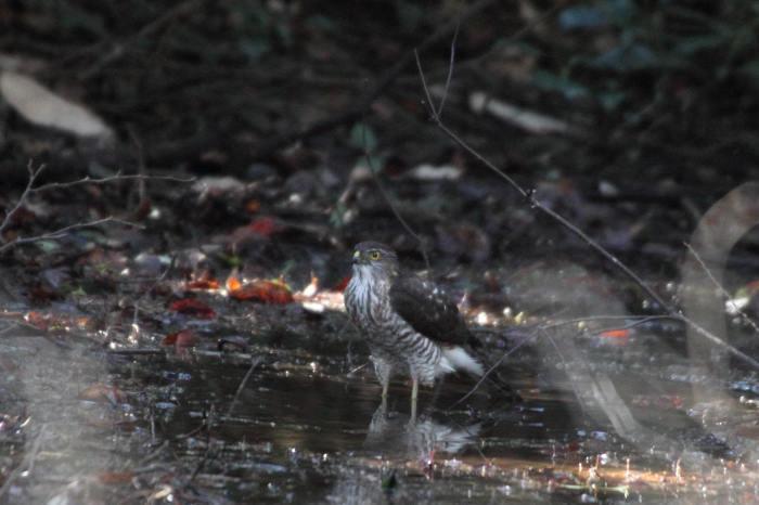 2015.1.9 本命が来てくれません・こども自然公園・ツミ、アカハラ、シロハラ、ルリビタキ、クイナ(A favorite does not come)_c0269342_20181846.jpg