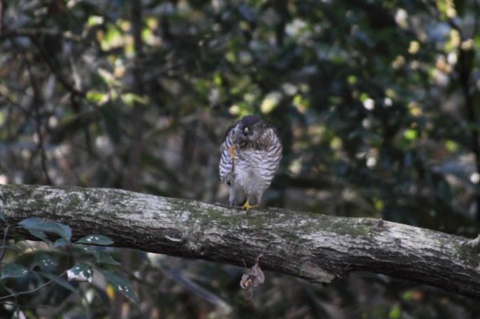 2015.1.9 本命が来てくれません・こども自然公園・ツミ、アカハラ、シロハラ、ルリビタキ、クイナ(A favorite does not come)_c0269342_20185294.jpg