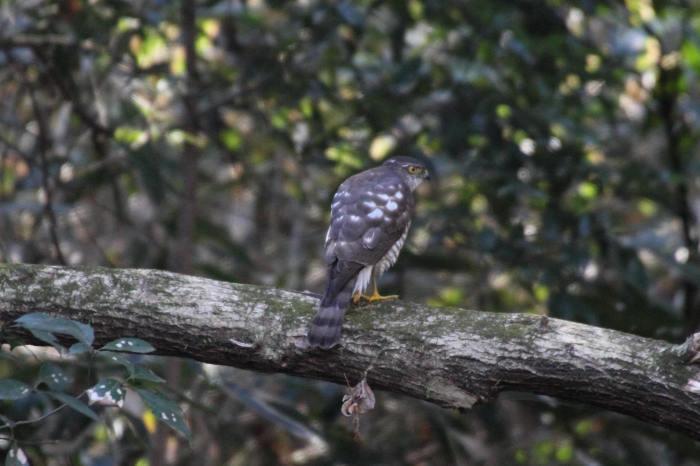 2015.1.9 本命が来てくれません・こども自然公園・ツミ、アカハラ、シロハラ、ルリビタキ、クイナ(A favorite does not come)_c0269342_20231662.jpg