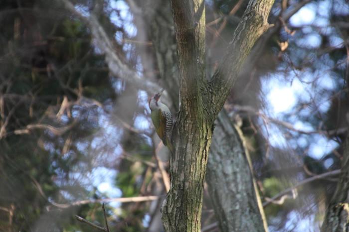 2015.1.9 本命が来てくれません・こども自然公園・ツミ、アカハラ、シロハラ、ルリビタキ、クイナ(A favorite does not come)_c0269342_21122086.jpg